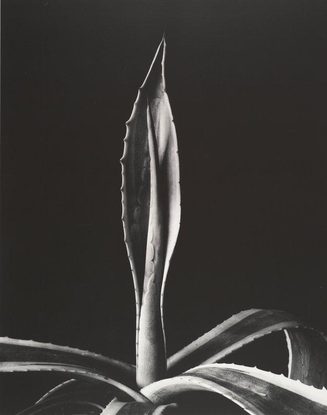 image of 'Agave Americanus'