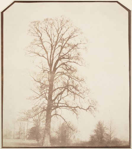 Elm Tree in Winter, Lacock Abbey
