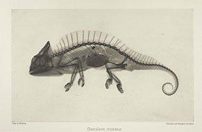 xray image of chamaeleon