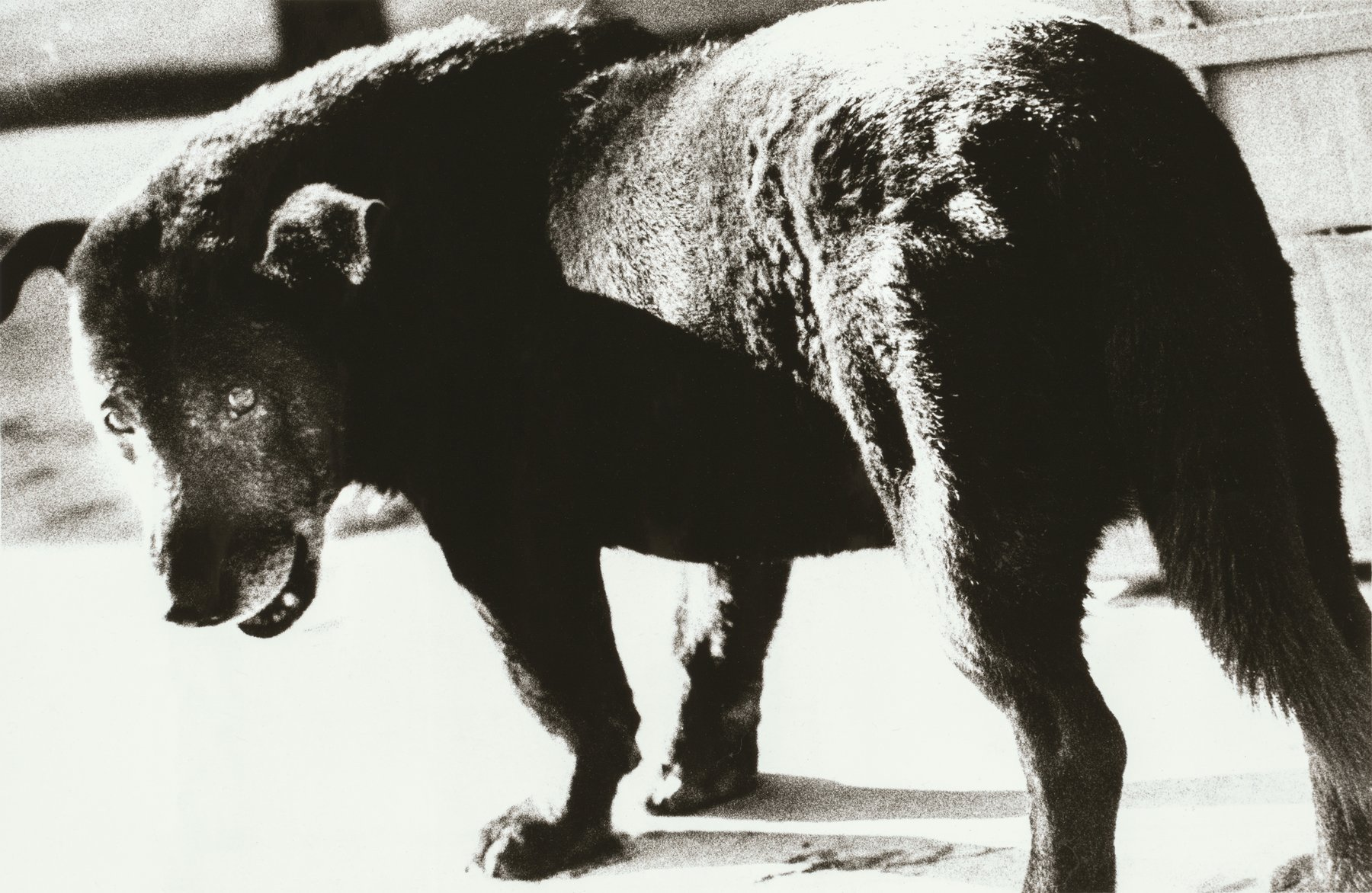 Black and white photograph of a stray dog, Daido Moriyama