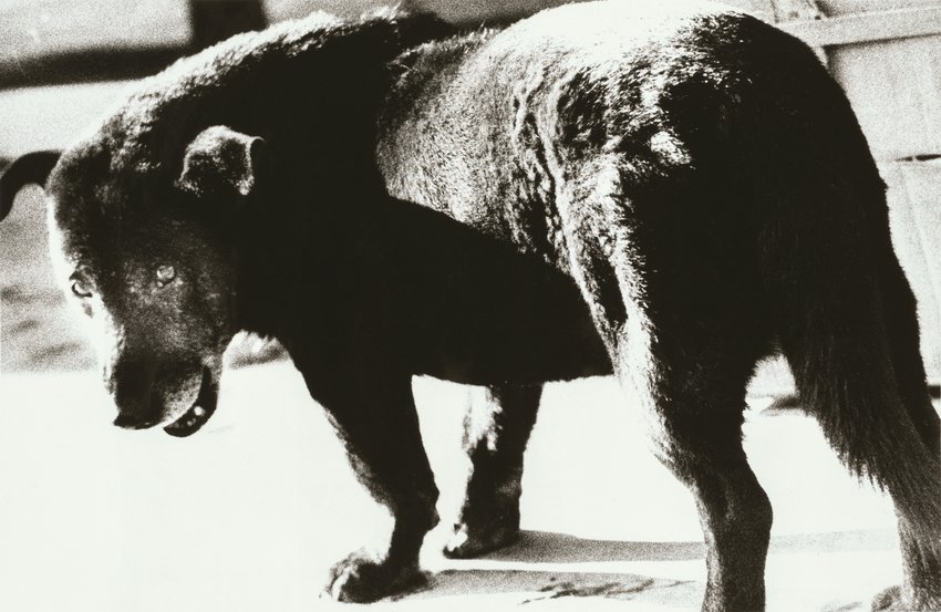 Black and white photograph of a stray dog, Daido Moriyama