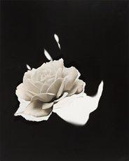 Jay DeFeo, white rose on black