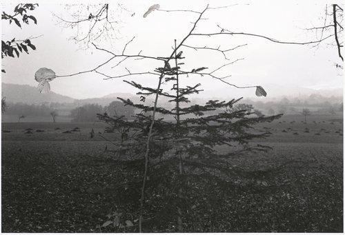 Tree, Northern France