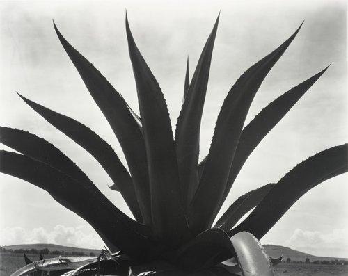 Maguey Cactus, Mexico