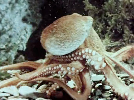 The Brain in her Arms: Octopus in Space