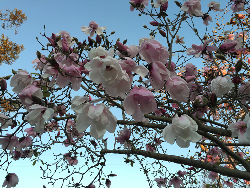 A magnolia tree in Berkeley. All photos: Ruth Gebreyesus.