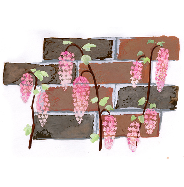 "Look for Ribes sanguineum, or ""pink flowering currant,"" growing abundantly in Golden Gate Park in early spring."