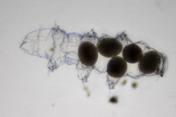 The Sable Tardigrade
