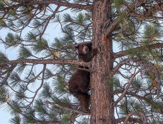 LAKE TAHOE的熊熊被槍殺~爭議爭高