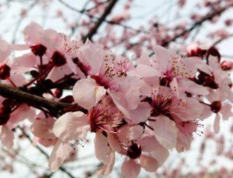 樱花再度盛开