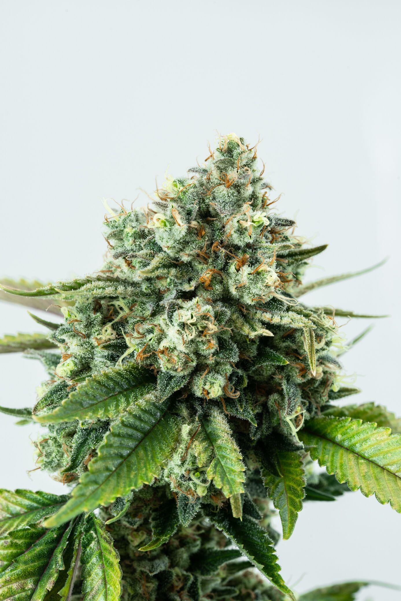 Deschutes Growery - Lemon Tree, Hybrid, Indoor