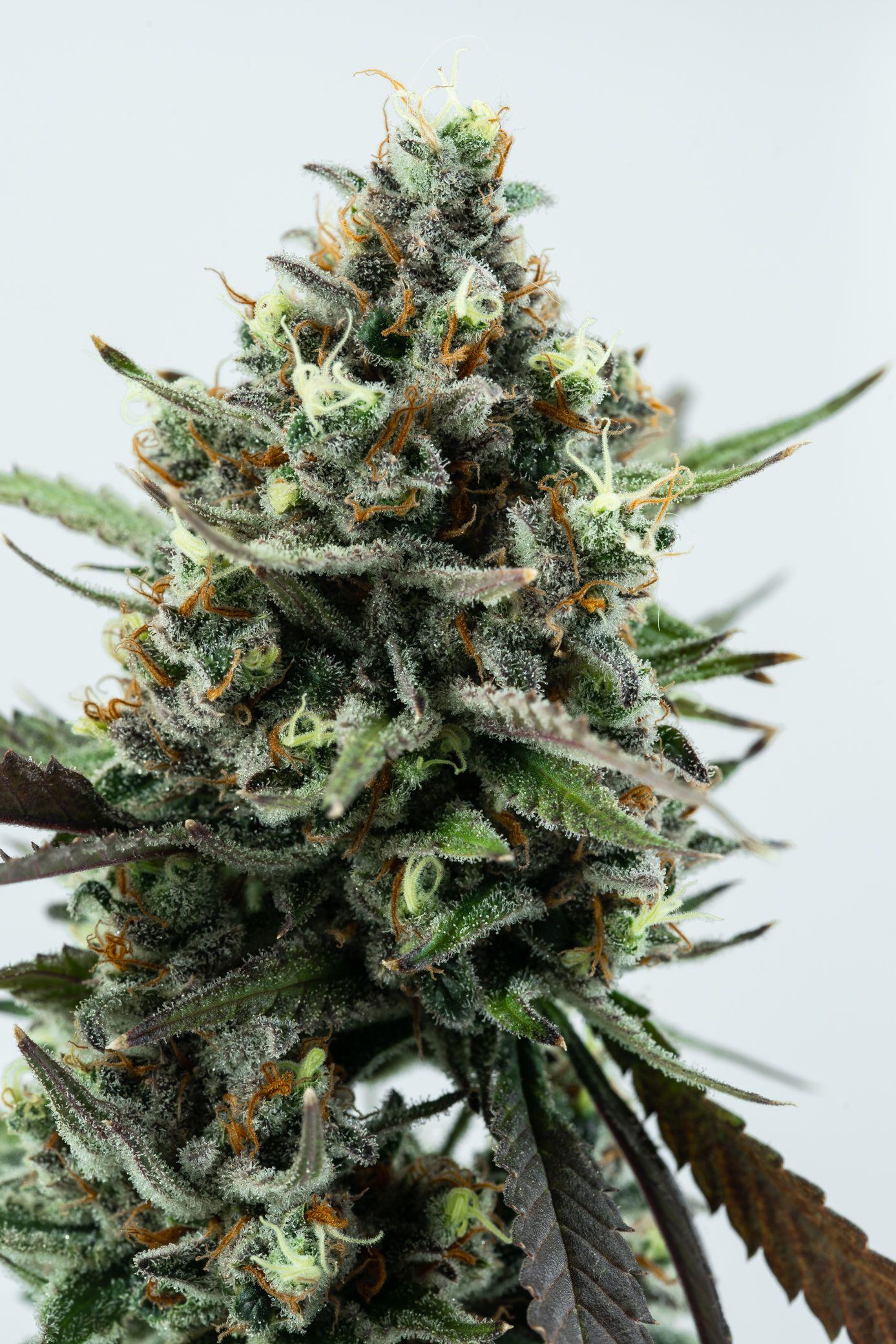 Deschutes Growery - Super Silver Haze, Sativa, Indoor