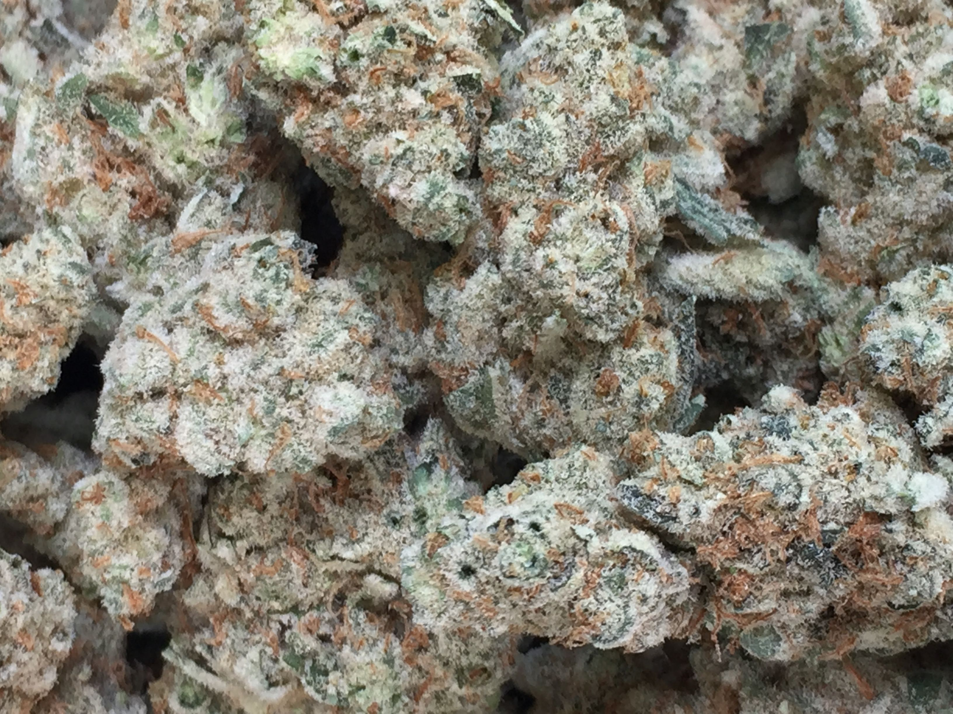 Pacific Frost (Indica) ~Exclusive
