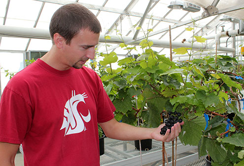 Graduate student examines grapes in greenhouse