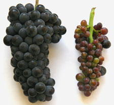 Two purple/red grape clusters. The diseased cluster is more red and has smaller grapes.