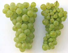 Two green grape clusters. The diseased cluster has smaller grapes.
