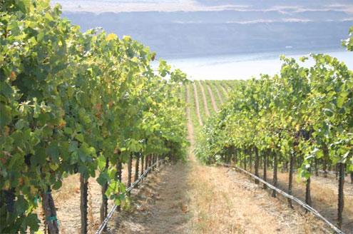 Vineyard irrigation