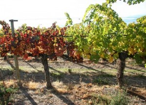 Comparison of healthy (right) and GLD-infected Cabernet sauvignon grapevines.