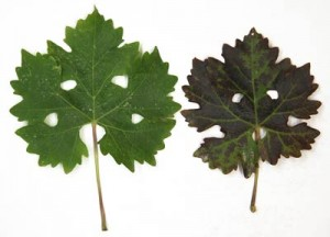 Comparison of healthy (left) and GLD-infected Cabernet sauvignon leaves.