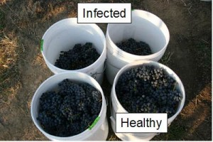 Comparison of healthy and GLD-infected Cabernet sauvignon yields.