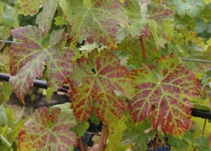 Cabernet sauvignon leaves showing green veins and interveinal reddening due to GLD.