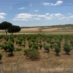 Another example of an old and widely spaced vineyard in Avila.