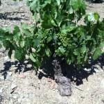 110 yr old vine growing in Mas Doix vineyard in Priorat.