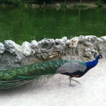 Peacock in park in Valladolid.