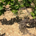 Chardonnay vine in limestone soil of Chablis