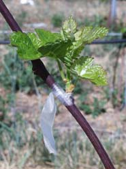 Chardonnay shoot emerging from a bud grafted on a green rootstock shoot in the field.