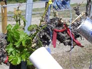 Heating dormant grapevine buds accelerates shoot development (foreground), while cooling the buds slows growth (background)