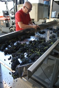 Dr. Jim Harbertson, associate professor of wine chemistry, hand sorts Syrah grapes at a grape-receiving station and de-stemmer donated to the Wine Science Center by Scott Laboratories and Armbruster.