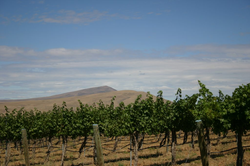 A vineyard with Red Mountain in the background.