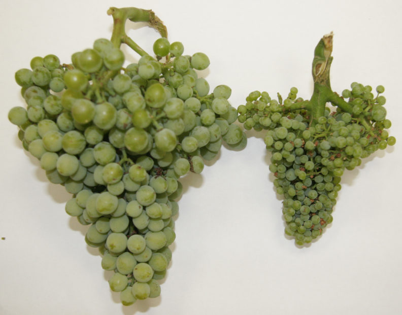 Healthy versus Infected Grapes