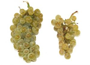 Comparison of healthy (left) and GLD-infected Chardonnay grape clusters.