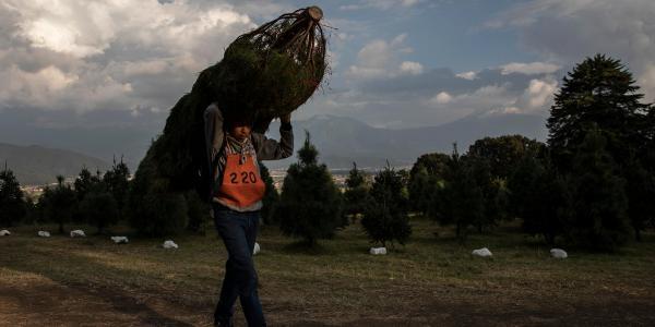 Cuestione   Global   Árbol de Navidad: ¿natural o artificial?