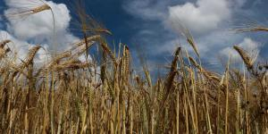 México | Paro de cerveceras por COVID-19 golpea a productores de cebada