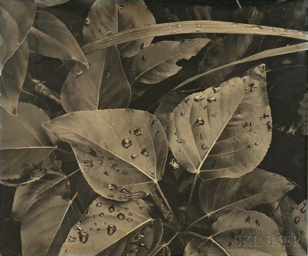 Ansel Adams (American, 1902-1984) Leaves and Raindrops, Glacier Bay National Monument, c. 1948 (Lot 142, Estimate: $15,000-25,000)