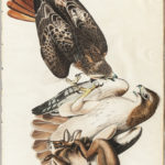 Audubon, John James (1785-1851) Red Tailed Hawk, Plate 51. [from] The Birds of America (Lot 1311, Estimate $3,000-4,000)