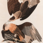 Audubon, John James (1785-1851) Brasilian Caracara Eagle, Plate CLXI (Lot 1220, Estimate: $6,000-8,000)