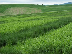 A well-developed stand of Austrian winter pea green manure in Pullman, WA.
