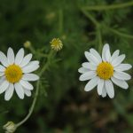 Close-up view of mayweed chamomile in full bloom