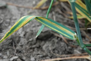 Ceph stripe leaf symptom (300)