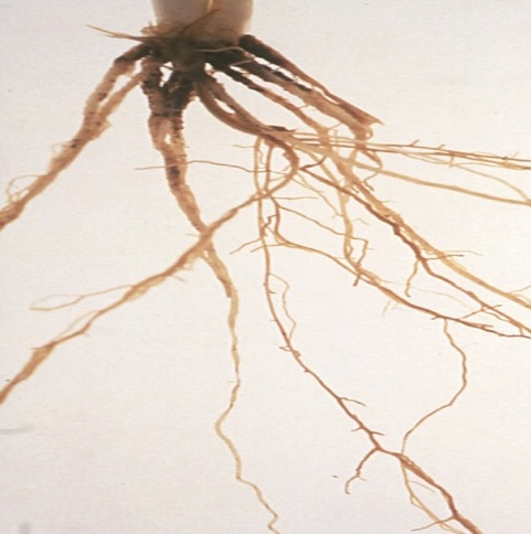 Nematode Roots