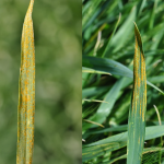 Yellow-orange spores of stripe rust on winter wheat leaves. Pustules are typically long and narrow.