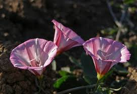 field-bindweed