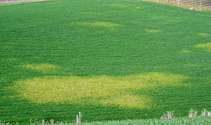 Yellow patches of winter wheat infected with Soilborne wheat mosaic virus