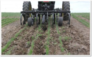 Inter-row cultivator in wheat rows. Note the back center wheel used for guidance assistance.