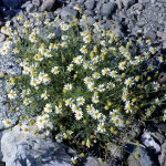 R.A. Howard @ USDA-NRCS PLANTS Database