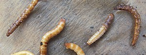 Wireworms-Cropped
